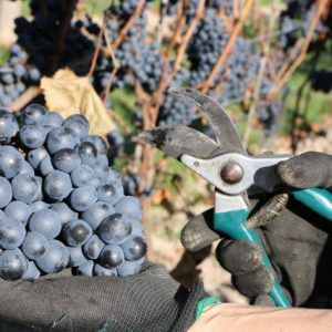 Pierwsze winobranie Winnica Kasztelańska Folwark Stara Winiarnia 04102015